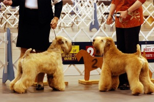 two wheatens